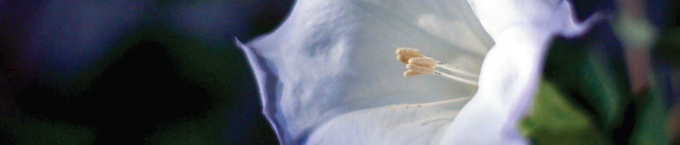 icelandic moonflower