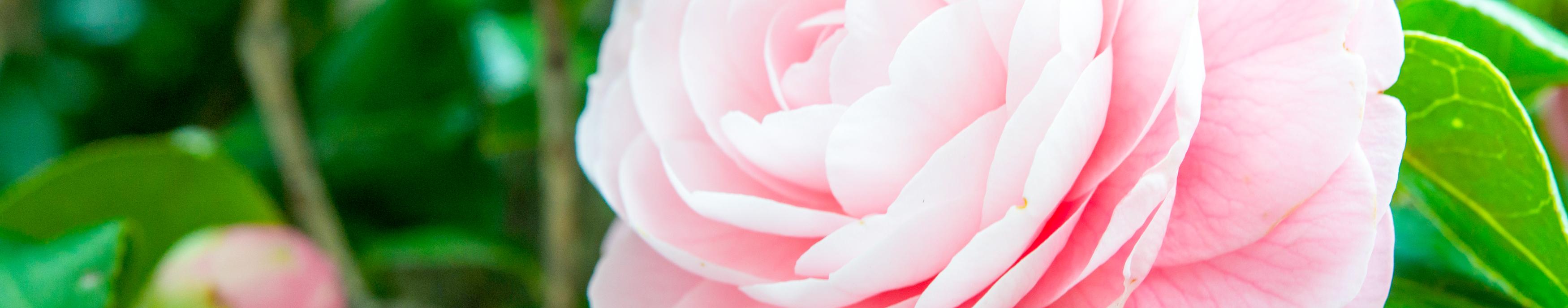 rose camellia plum soft-water mist