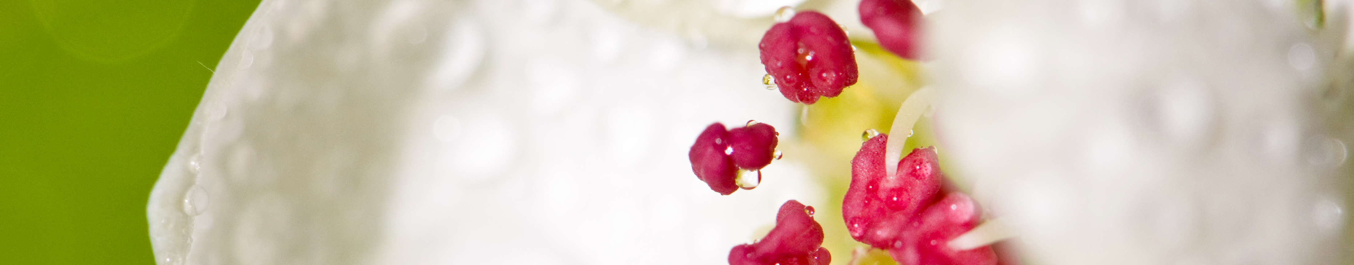 plum blossom silk cream