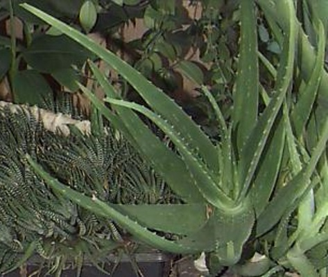 aloe barbadensis butter