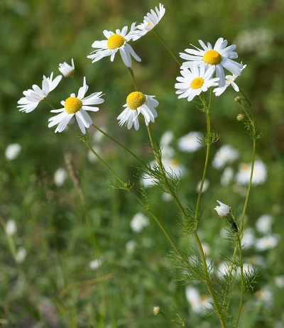 chamomile whole flower extract