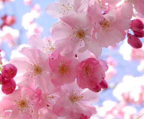 cherry blossom oil