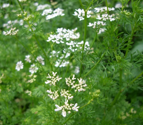coriander whole essential oil