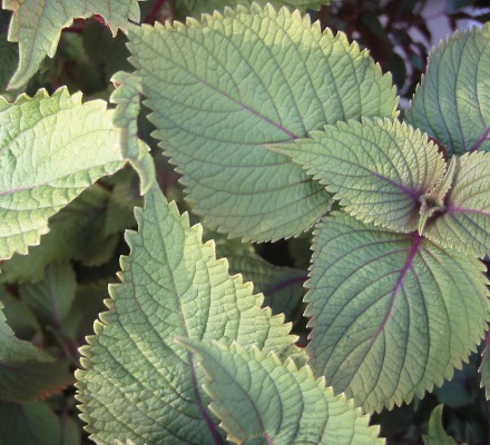 garden mint oil