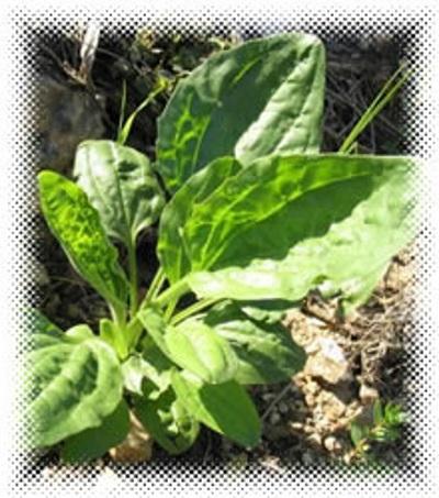 plantain extract
