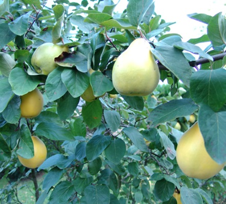 quince oil