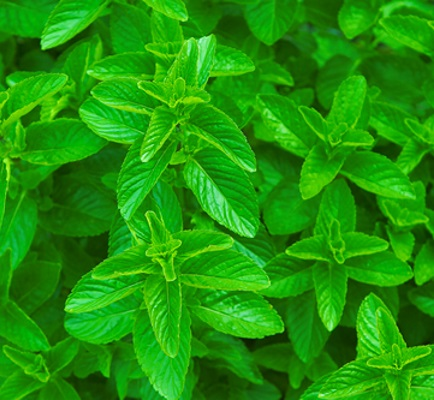 spearmint leaf oil