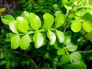 wild lime oil